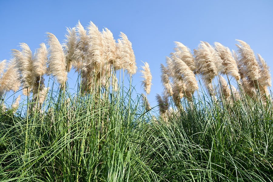 florida destination weddings trend | pampas grass